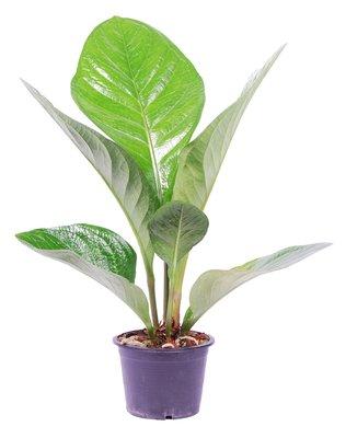 Anthurium jenamnii 'Lovely Green'()
