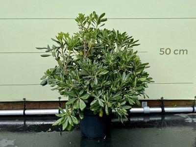 Australische Laurier 75 cm