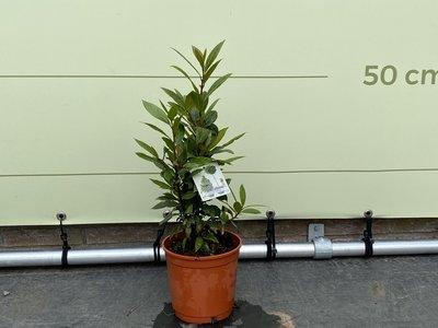 Laurierboom - Laurus Nobilis 55 cm