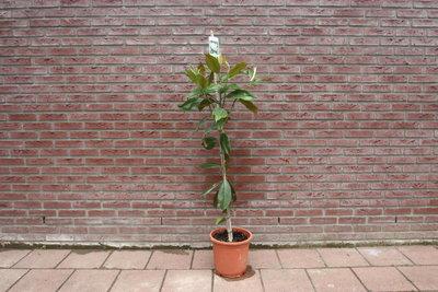 Magnolia Grandiflora Gallisoniensis 130cm