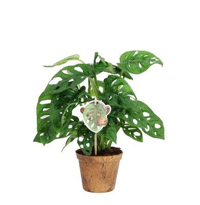 Monstera Obliqua 'Monkey Leaf' (MLNC.12ZK00)