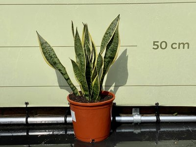 Sansevieria - Vrouwentong 70cm