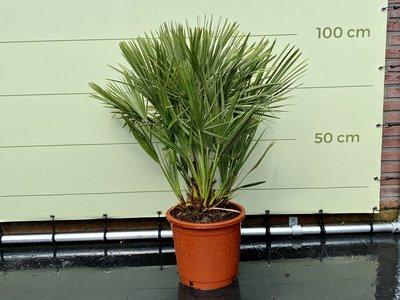 Chamaerops Humilis hoogte incl. pot ca. 100cm
