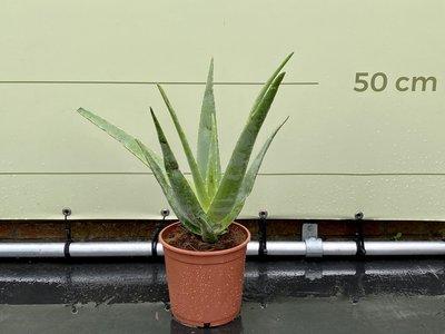 Aloe Vera 60 cm