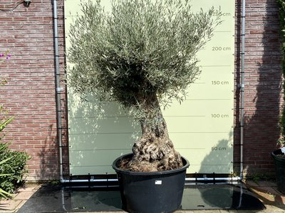 Olea Europea - Olijfboom bonsai stamomvang 80 - 100cm