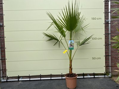 Mexicaanse Waaierpalm - Washingtonia Robusta 140-160 cm