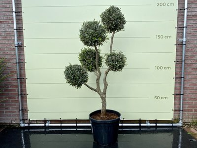 Olea Europea - Olijfboom pon-pon Bolvorm stamomvang 20 - 25cm