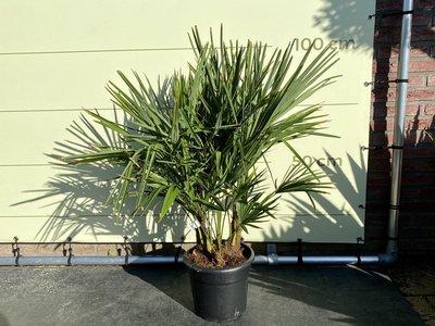 Trachycarpus Fortunei - multistam stamhoogte 15-20cm