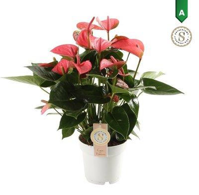 "Anthurium ""Pink Champion""()"