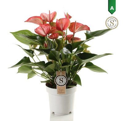 Anthurium Livium Red()