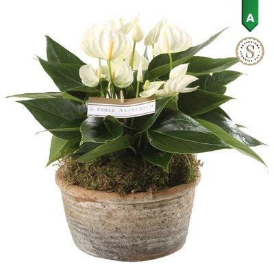 Anthurium White in Parma Keramiek ()