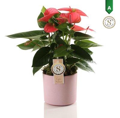 Anthurium Pink in Bari Keramiek Pink()