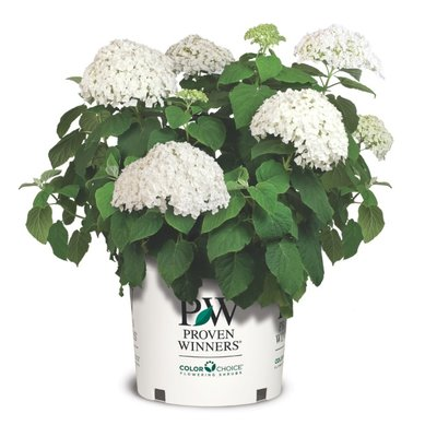 """Hydrangea """"Strong Annabelle""""(SKHYDR19INCRB)"""