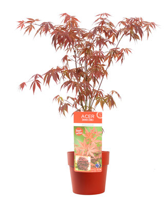 Acer 'Atropurpureum' in brique bloempot voor buiten (ELHO ®)(SKACER19ATROB)