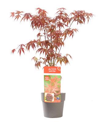 Acer 'Atropurpureum' in grijze bloempot voor buiten (ELHO ®)(SKACER19ATROB)