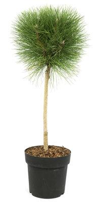 Pinus 'Summer Breeze' ®(SKPINU24SUBRS)