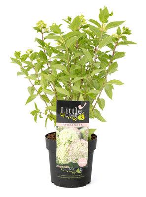 Hydrangea 'Little Lime' ®(SKHYDR19LILIB)