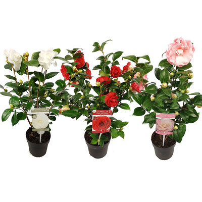 Camellia Japonica mix(SKCAME15GEMEP)
