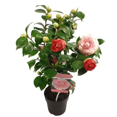 Camellia 'Bonomiana'(SKCAME15BONOP)