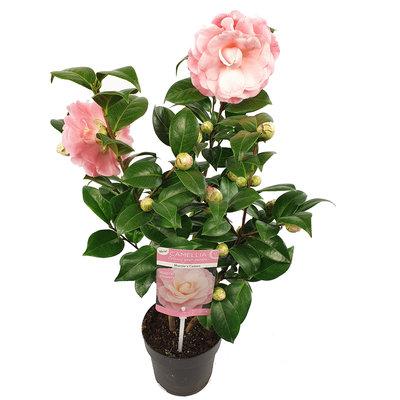 Camellia 'Nuccio's Cameo'(SKCAME15NUCAP)