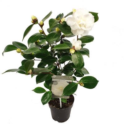 Camellia 'Nuccio's Gem'(SKCAME15NUGEP)