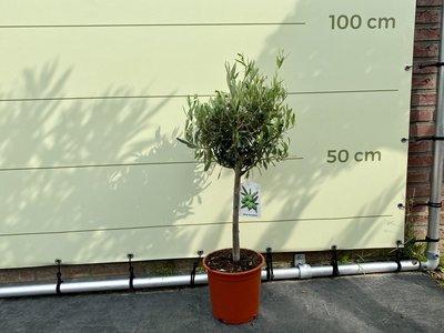 Olijfboom bol op stam 80cm
