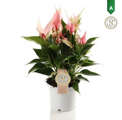 Anthurium Lilli  ()
