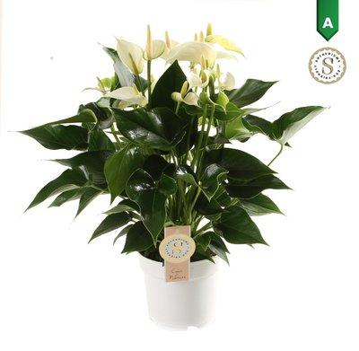"Anthurium ""White Champion"" ()"