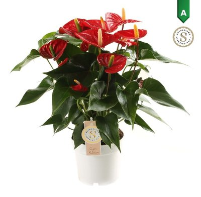 "Anthurium ""Red Champion""  ()"