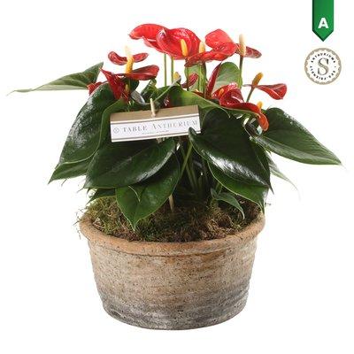 Anthurium Red in Parma Keramiek  ()