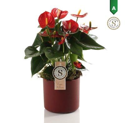 Anthurium Red in Bari Keramiek Red - ()