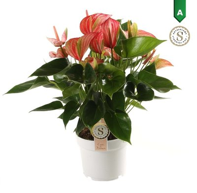 Anthurium Livium Red ()
