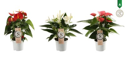 Anthurium Mix White, Red and Pink Champion ()