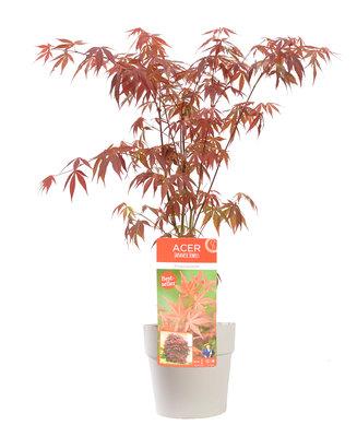 Acer 'Atropurpureum' in witte bloempot voor buiten (ELHO ®) (SKACER19ATROB)