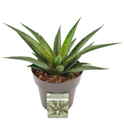 Mangave 'Pineapple Express' ® (SKMANG15PIEXB)