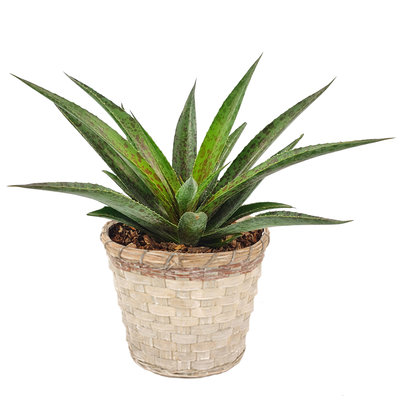 Mangave 'Pineapple Express' ® in greywash bamboe sierpot (SKMANG15MITMB)