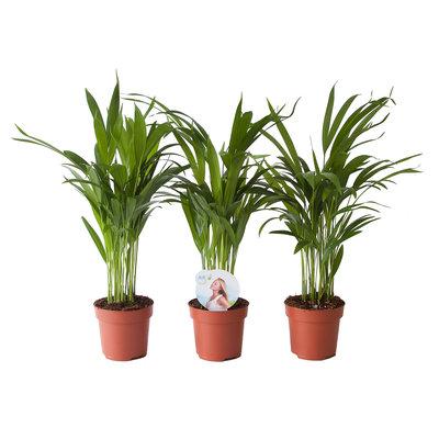 Goudpalm (Areca / Dypsis Palm) (PNLDYP12)