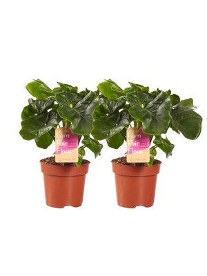 Philodendron Atom (PNLATO12-2)