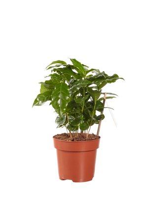 Koffie plant (PNLCOF12)