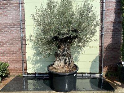 Olea Europea - Olijfboom bonsai stamomvang 100 - 120cm