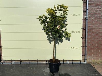 Sinaasappelboom maat L 170 cm