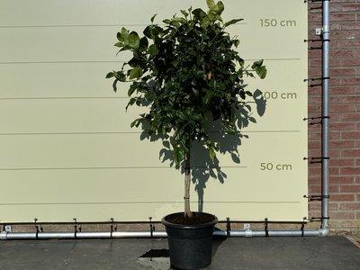 Citroenboom maat L 160cm