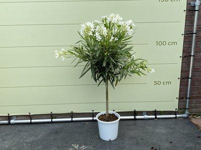 Witte Oleander op stam 130cm