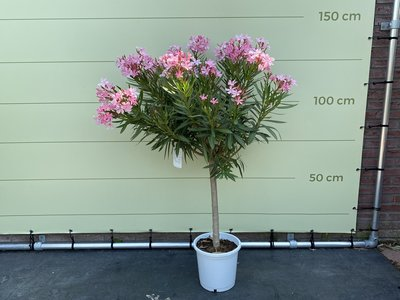 Roze Oleander op stam 130cm