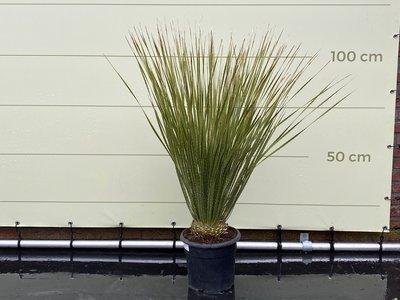 Mexicaanse Grasboom - Maat M 90 cm