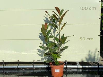 Magnolia Grandiflora Gallisoniensis 100cm