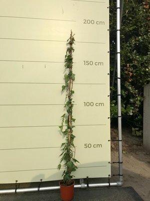 Klimop, Hedera, 180/220cm