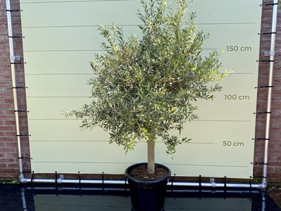 Olea Europea - Olijfboom met gladde stam, stamomvang 20 - 40cm