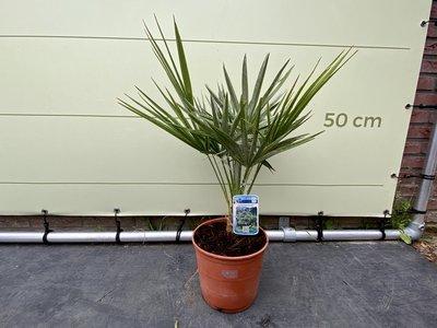 Chamaerops Humilis hoogte incl. pot 60 cm