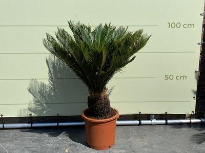 Cycas Revoluta stamhoogte 20 cm